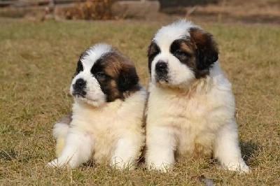 Bernardinci, prelepi štenci