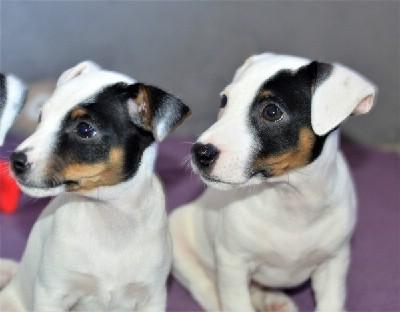 Jack Russell Terrier štenci