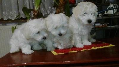 Coton de Tulear - štenci oba pola