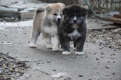 Akita inu prelepi štenci