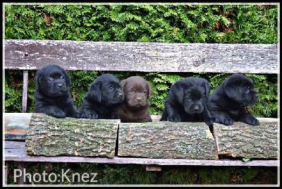 Vrhunski štenci Labrador retrivera