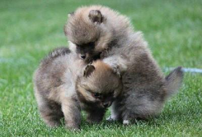 Pomeranski špic, štenci