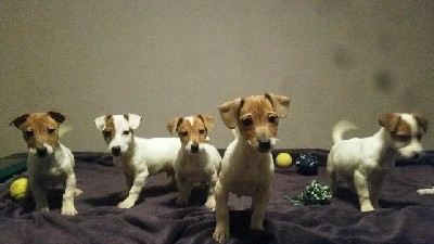 Jack Russell terier stenci