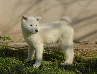 Kvalitetni štenci Japanske Akitu inu