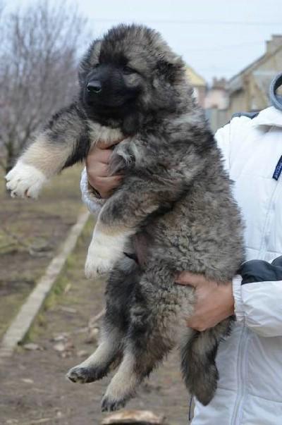 Kavkaski ovcar stenci