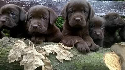 Labrador retriver čokoladni štenci