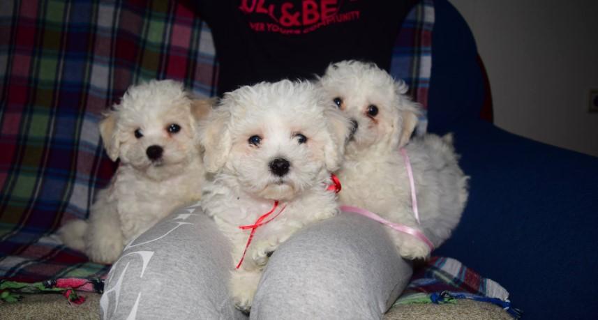 Kovrdzavi bišon štenci na prodaju