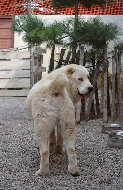Srednjeazijski ovcar muzjak