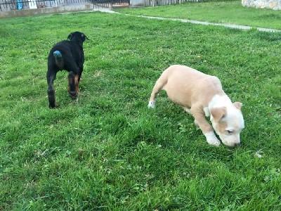 Američki staford na prodaju štene i odra