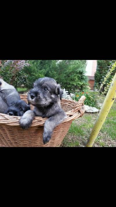 Srednji Šnaucer štenci