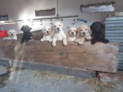 Labrador štenci, vrhunskog porekla