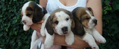 Bigl trobojni štenci