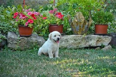 Labrador štenci