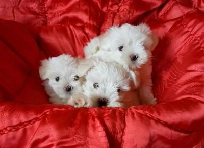 Mini maltezer,  štenci