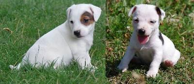 Jack russell terrier štenci vrhunskog  i