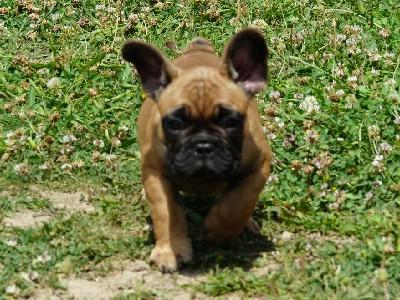 Francuski buldog - štene
