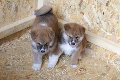Akita Inu, štenci odličnog potencijala
