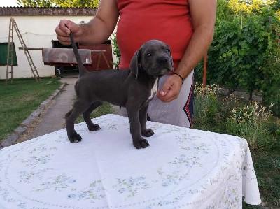 CANE CORSO - štenci