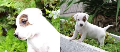 Jack russell terrier vrhunskog izgleda