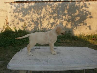 Labrador - ženski štenci