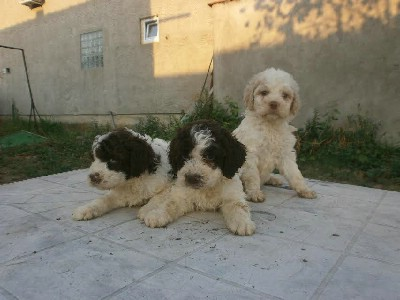 Lagoto Romangolo, štenci