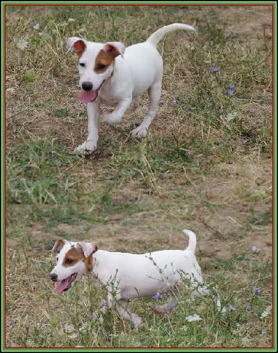Jack russell terrier,šampionskog porekla
