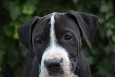 Američki stafordski terijer muško štene