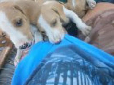 štenci čistokrvnog posavskog goniča