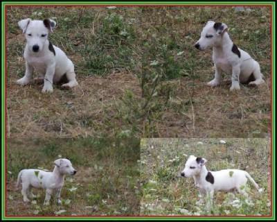 Jack russell terrier štenci vrhunskog iz