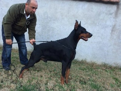 Doberman štene