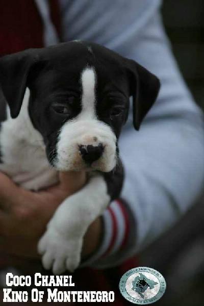 Američki Stafordski Terijer žensko štene