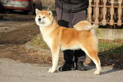 Prelepi štenci Akita inu