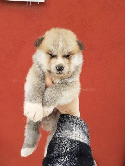 Akita Inu – prelepi štenci