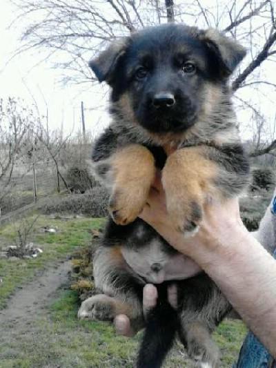 Nemački ovčar štenad