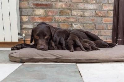 Čokoladni labrador štenci na prodaju