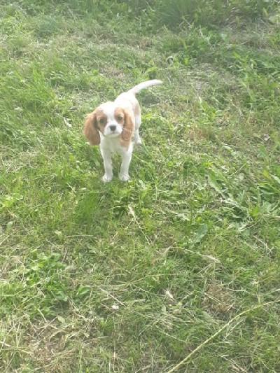 Cavalier King Charles spanijel štenci
