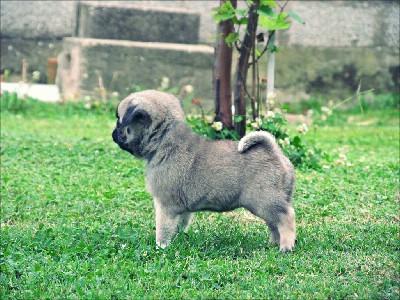Mops zensko štene na prodaju