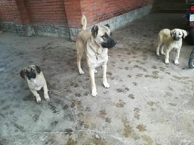 Kangal - Turski pastirski pas
