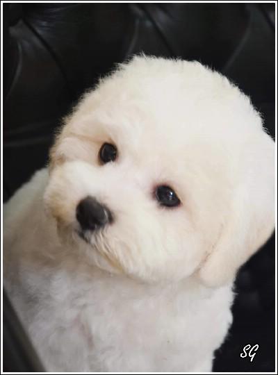 Kovrdžavi bišon štenci na prodaju