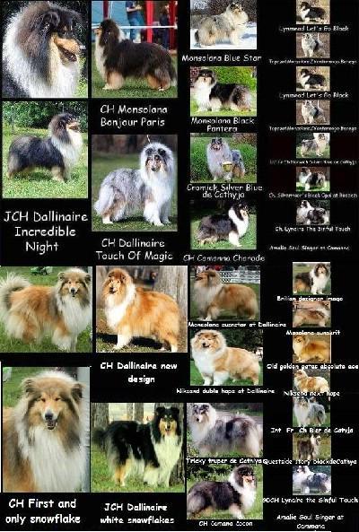 Škotski ovčar- štenci na prodaju