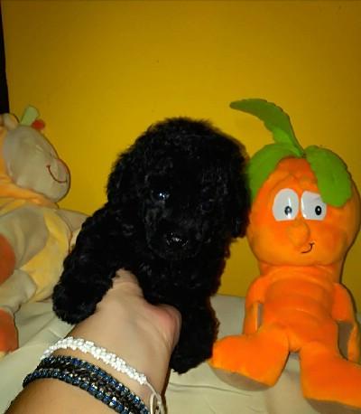Toy pudle štenci na prodaju