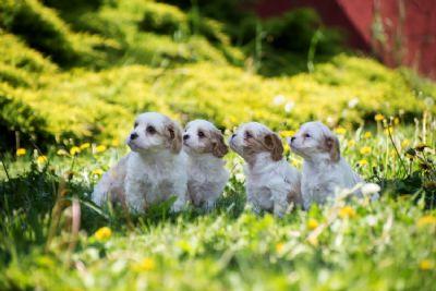 Cavamalt štenci