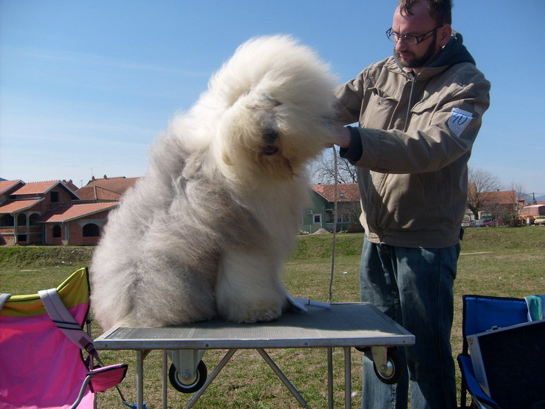 Bobtail-Old English Sheep Dog